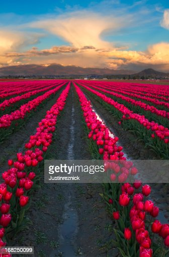 Pink Tulips and Clouds