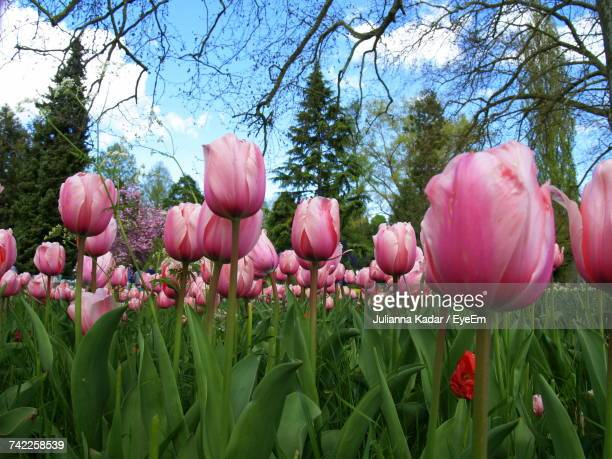 Pink Tulips Blooming In Park