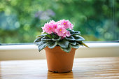 Pink violet flower in pot on green bokeh background