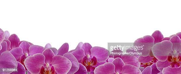 Pink / violet orchid border