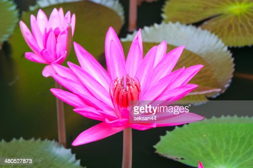 Pink Water lilly : Stock Photo