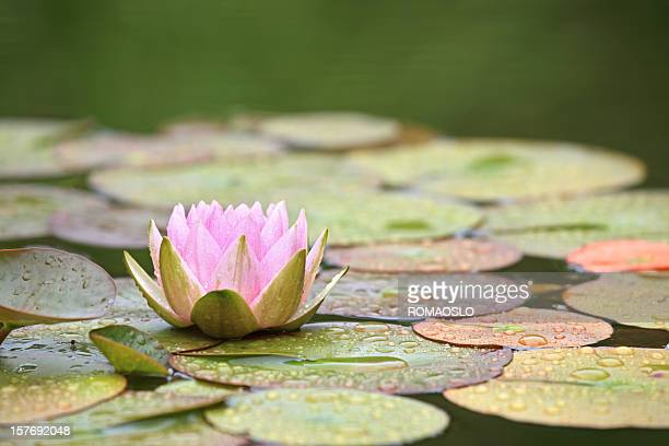 Pink Water Lily and leaves in a pond after rain