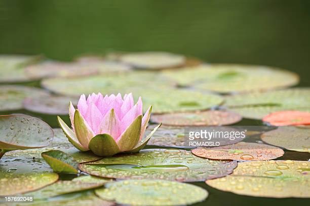 Rosa Giglio di acqua in uno stagno e foglie Dopo la pioggia