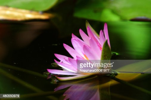 Pink water lily and reflection in a pond. : Stock Photo