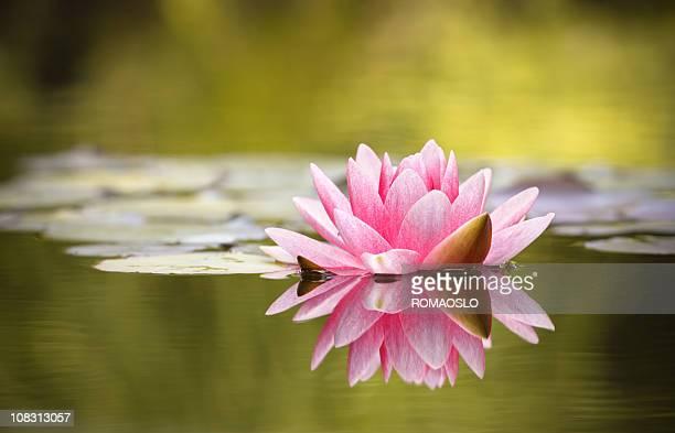 Giglio rosa con riflesso d'acqua