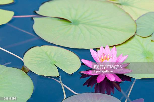 Pink waterlily with large green water leaves - II