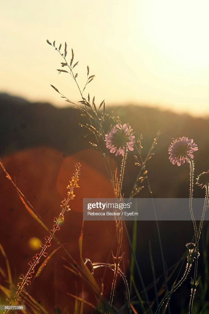 Pink Wildflower Growing In Forest At Sunset