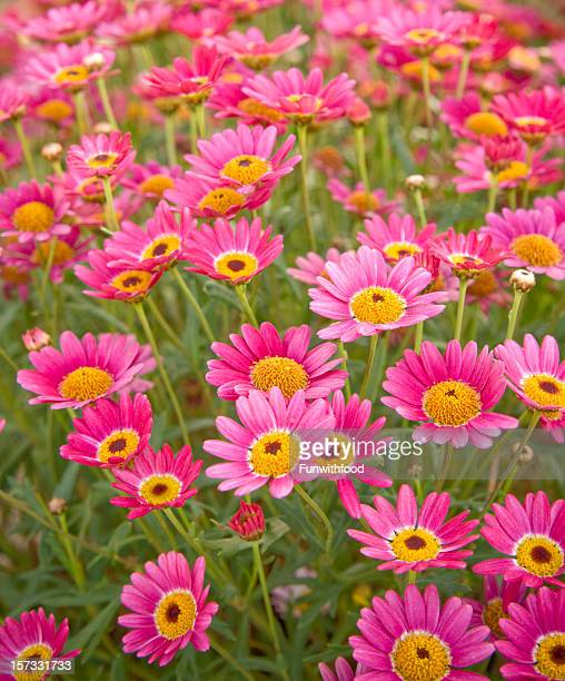 Pink & Yellow Spring Daisy Flower Bed, Summer Field Nature Background