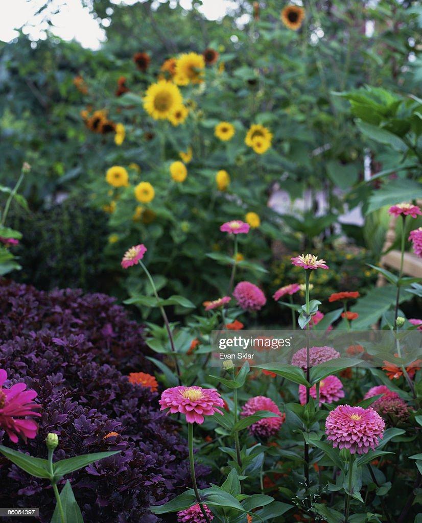 Pink zinnias with sunflowers
