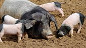 mother pig lying on ground to feed her piglets