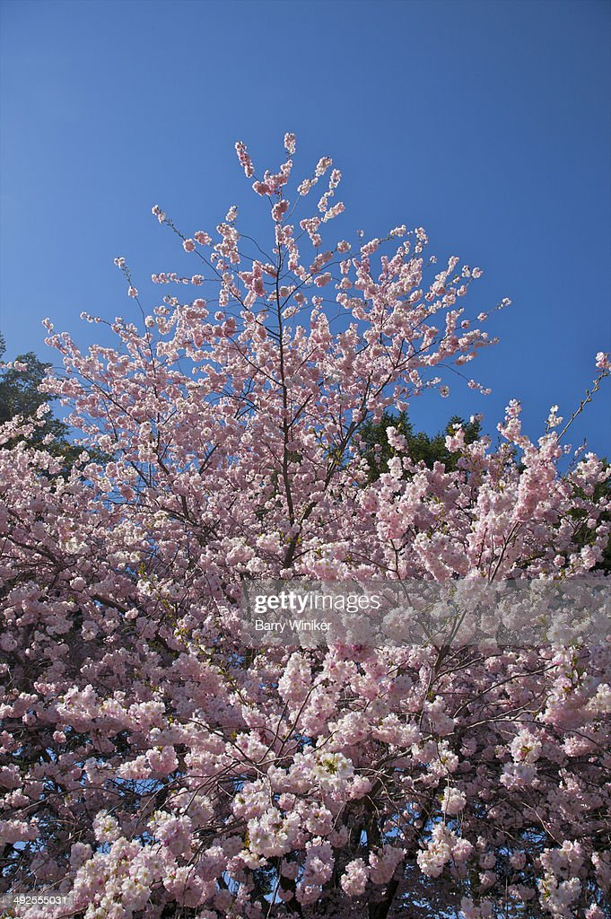 Pink-flowered tree and deep blue sky