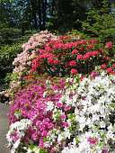 Red, white and pink Azaleas in a park in Portland, Oregon in the spring.