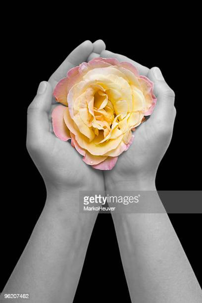 Pink/yellow rose in hands