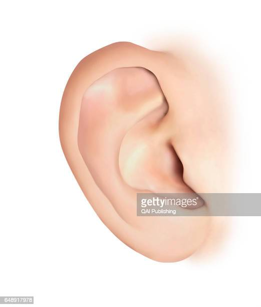 Pinna Soft cartilaginous outer portion of the ear located at the side of the headit allows sounds to be collected It is also called the auricle