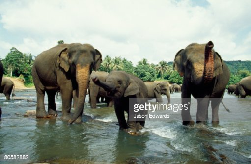 Pinnawela, Sri Lanka. : Foto de stock