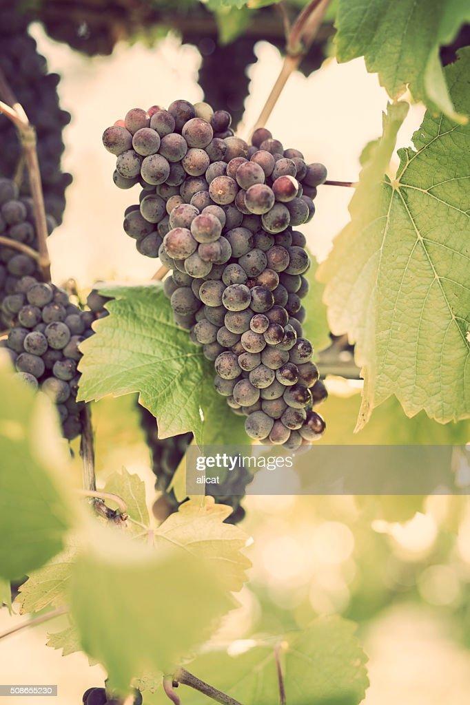 Pinos Gris Grapes on Vine : Stock Photo