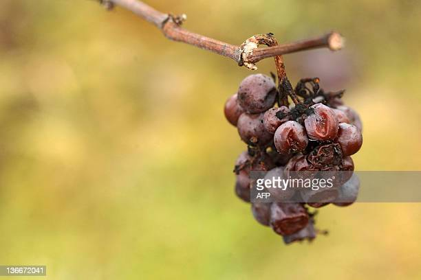 Pinot gris grapes destined for ice wine production wait for lower temperatures on January 10 2012 in a vineyard near Dromersheim western Germany Due...