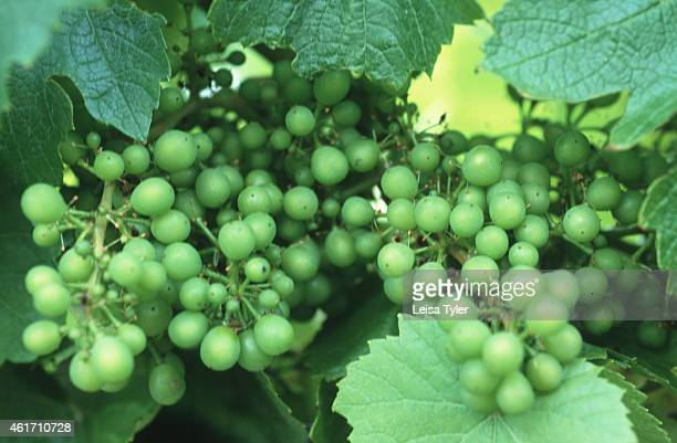 LILLYDALE TASMANIA AUSTRALIA Pinot Noir grapes on a vineyard in north east Tasmania Little more than 20 years ago people scoffed at the idea of...