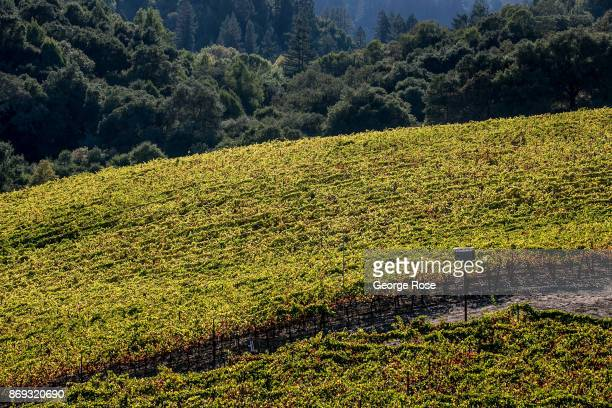 Pinot noir vineyards along Mark West Station Road are turning a golden color on October 7 near Santa Rosa California Following a record winter...