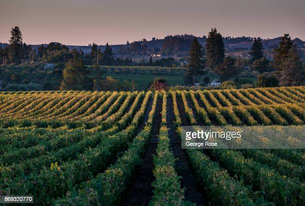 Pinot noir vineyards at Hallberg Ranch/Emeritus Vineyards on Highway 116 are turning a golden color on October 7 near Sebastopol California Following...