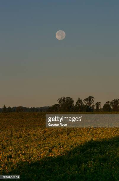 Pinot noir vineyards at Hallberg Ranch/Emeritus Vineyards on Highway 116 are turning a golden color under a full harvest moon on October 7 near...