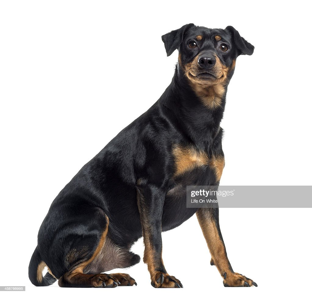 Pinscher and Jagterrier crossbreed, isolated