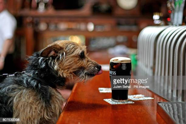 Pint loving dog 'Dfor' enjoys a drink in the Mullingar House Pub in Chapelizod Dublin as details emerge that festival organisers from the Connacht...