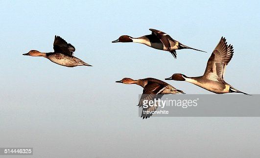 'UK, England, Essex, Colchester, Pintails flying'