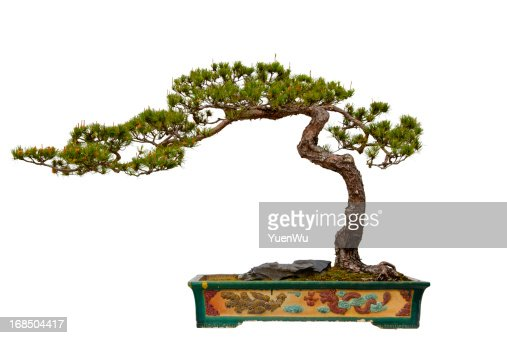 Pinus massoniana (Masson's Pine) bonsai