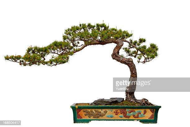 Pinus massoniana (Masson s Pine) bonsai