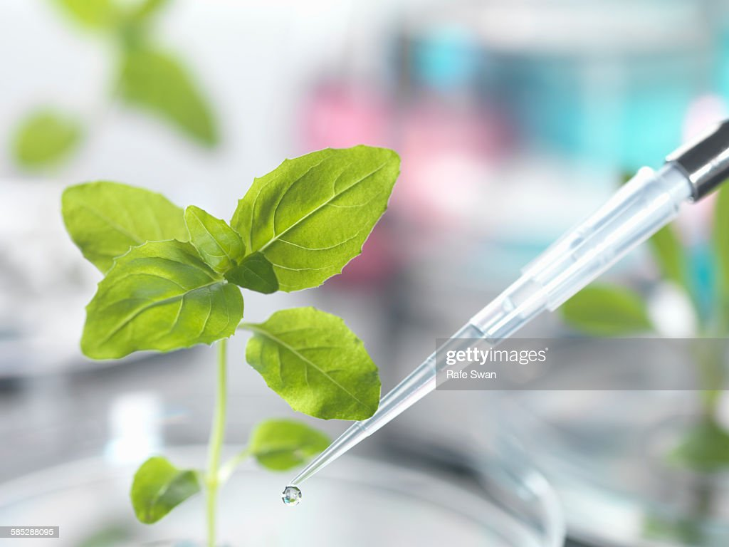 Pipette dropping test sample onto seedling in petri dish