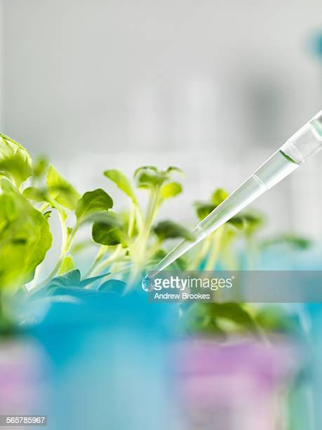 Pipetting experimental chemical into laboratory seedling tray
