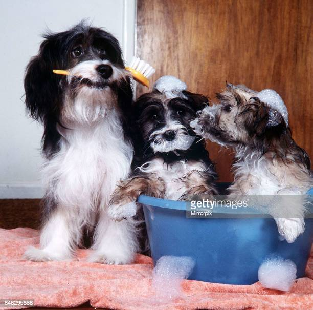 Pippin the Dog March 1984 prepares two of her pups for TV show Rub a Dub Dub