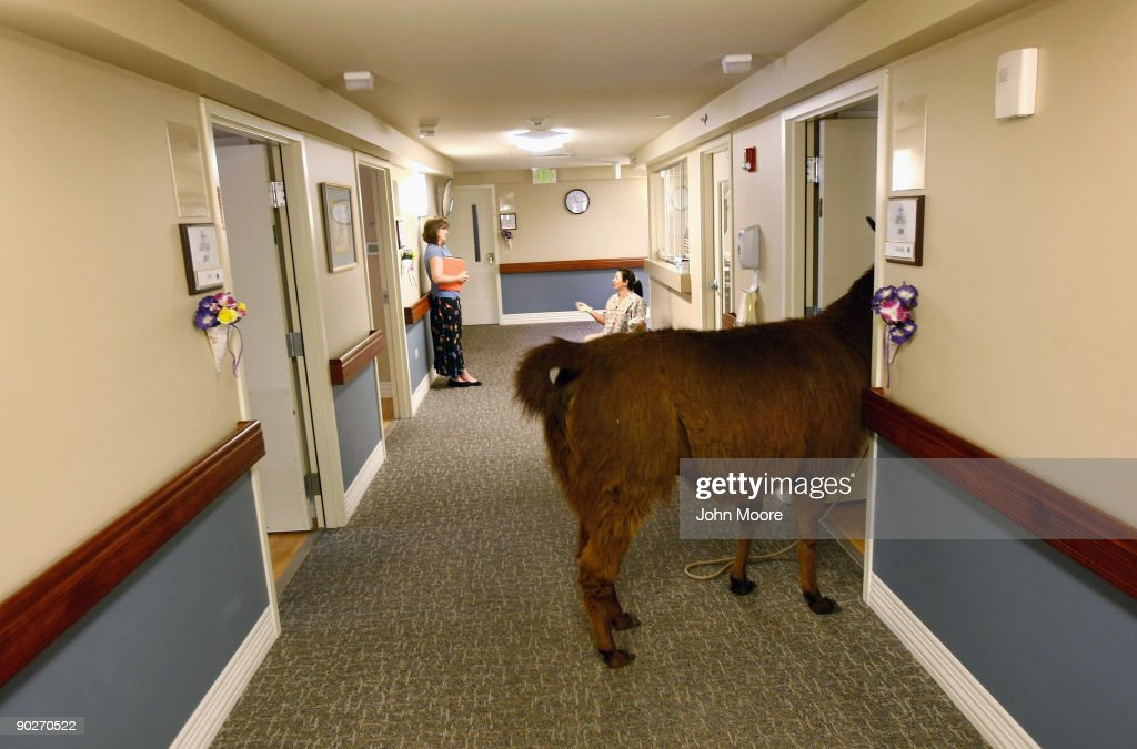 Pisco, a 13-year-old therapy llama, enters the room of a terminally ill patient during his visit to the Hospice of Saint John on September 1, 2009 in Lakewood, Colorado. The llama visits the hospice each month as part of an animal therapy program designed to increase happiness, decrease loniliness and calm terminally ill patients during the last stage of life. The non-profit hospice, which serves on average 200 people at a time, is the second oldest hospice in the United States. The hospice accepts patients regardless of their ability to pay, although most are covered by Medicare or Medicaid. End of life care has become a contentious issue in the current national debate on health care reform.
