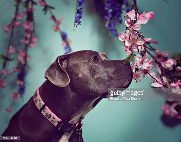 Pit Bull and Florals