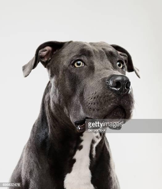 Pit bull dog guarding