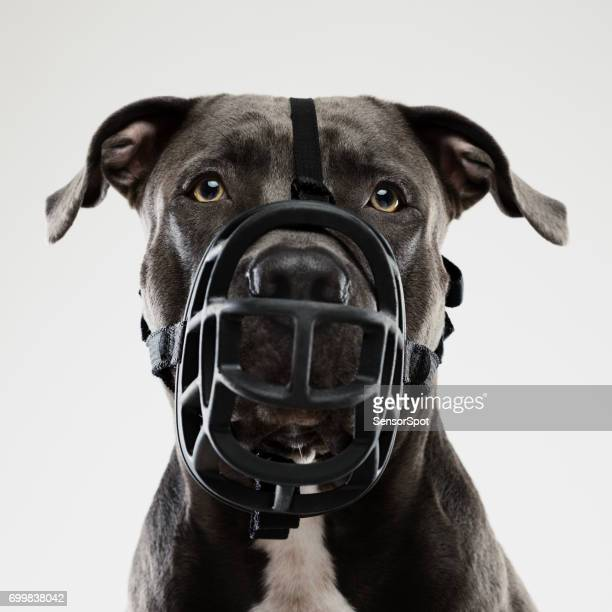 Pit bull dog posing with muzzle