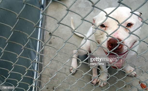 A pit bull looks out from a cage in the Liberty Humane Society shelter July 24 2007 in Jersey City New Jersey According to animal shelter statistics...