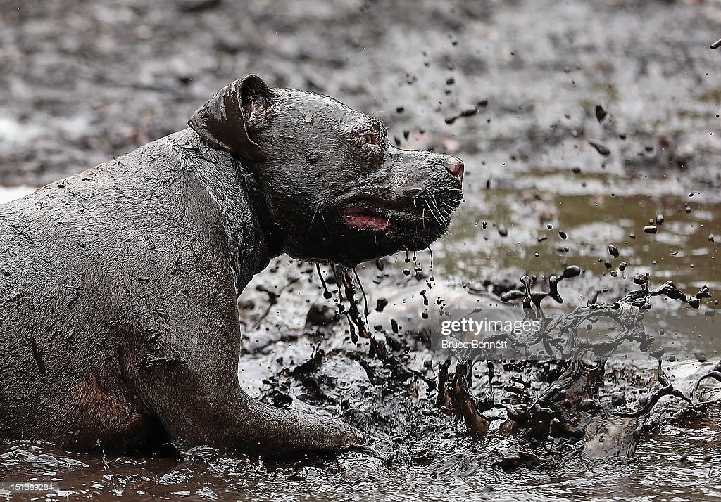 A pit bull mix plays in the mud in the Town of Oyster Bay Dog Park on September 6, 2012 in Massapequa, New York.