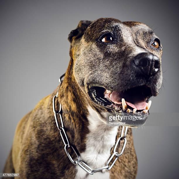 Pit bull portrait