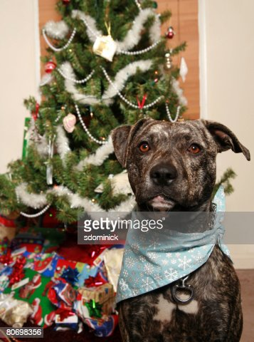 A pit bull posing for a Christmas portrait.