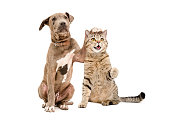 Pit bull puppy and a cat Scottish Straight amicably sitting together Isolated on white background
