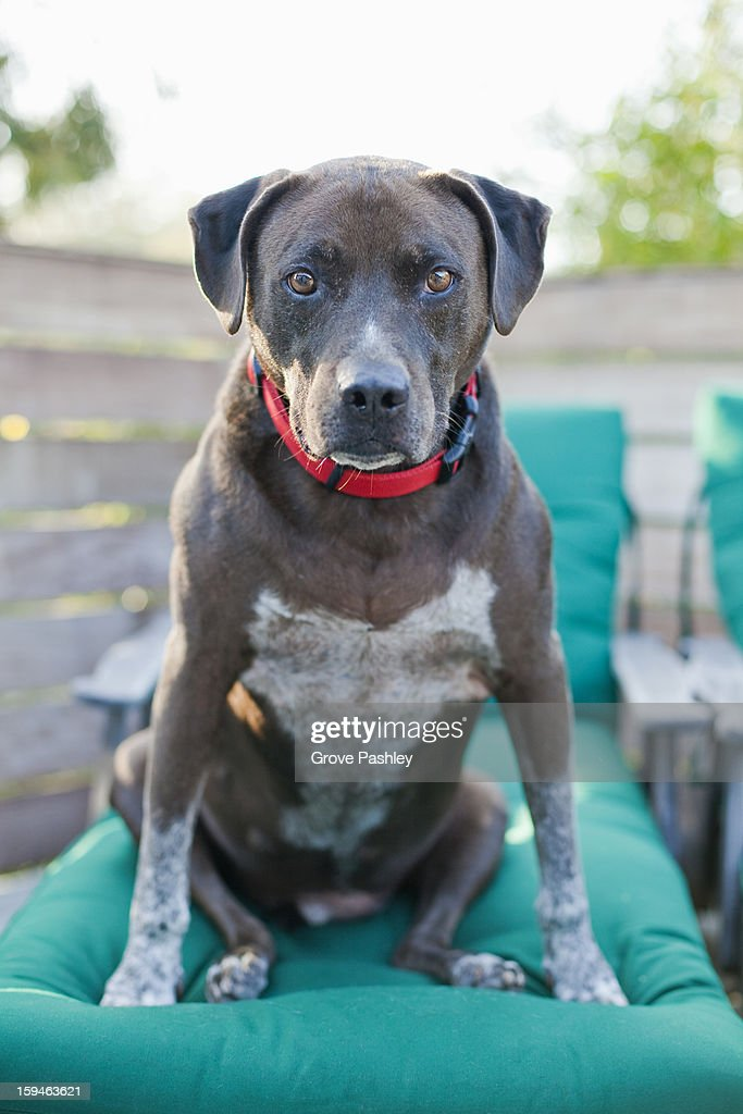 Pit Bull sitting looking right at camera : Stock Photo