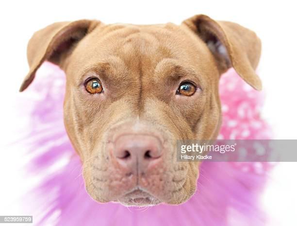 Pit Bull wearing pink collar