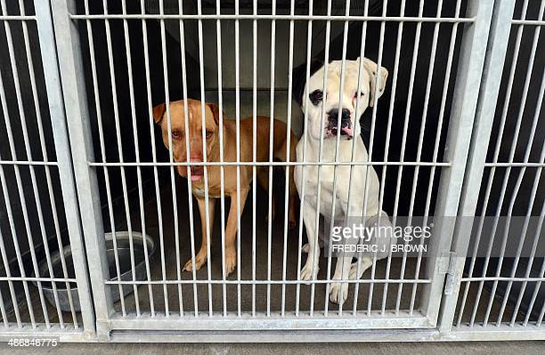 A pitbull and a boxer mix peer from their cage at the San Bernardino City Animal Shelter in San Bernardino California on February 4 where the...