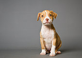 Pit-bull puppy