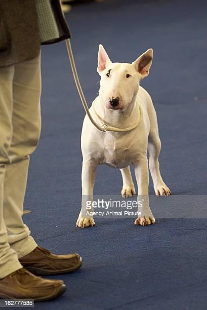 Pitbull Terrier at the CACIB dog exhibition Westfalenhallen Dortmund on October 16 2011 in Dortmund Germany
