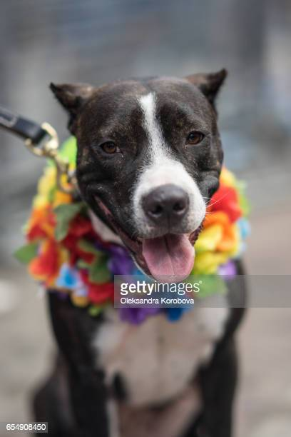 Pitbull terrier dog wearing colorful rainbow flowers on the collar.