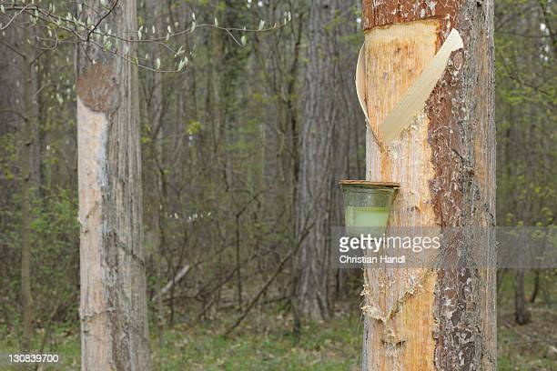 Pitch trees, Hernstein, Triestingtal valley, Lower Austria, Austria, Europe