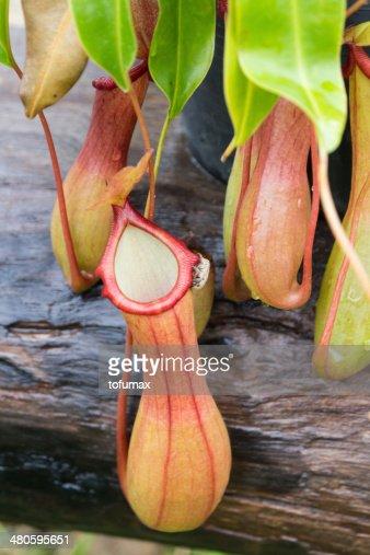 Pitcher Plant : Stock Photo